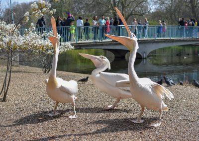Pelicans at St. James Park, London